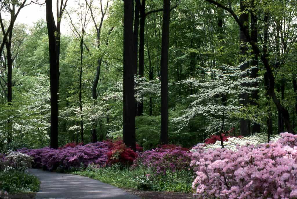 azaleas and dogwoods at Winterfur for a seasonal flower and plant grouping.