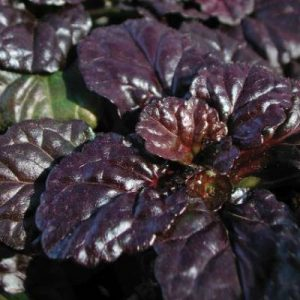 Dark burgundy (almost black) foliage of bugleweed is a great groundcover for shade.