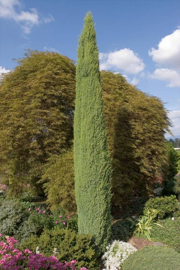 Blue point junipers have a vertical column-like form.