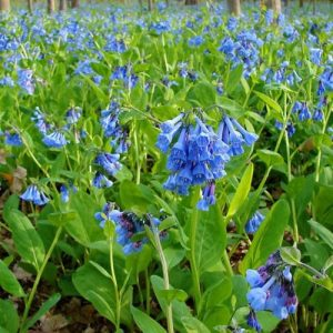 Virginia Bluebells are native wildflowers perfect for a woodland shade garden.