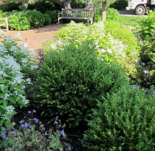 Northern Charm Boxwood Evergreen Shrubs (right)