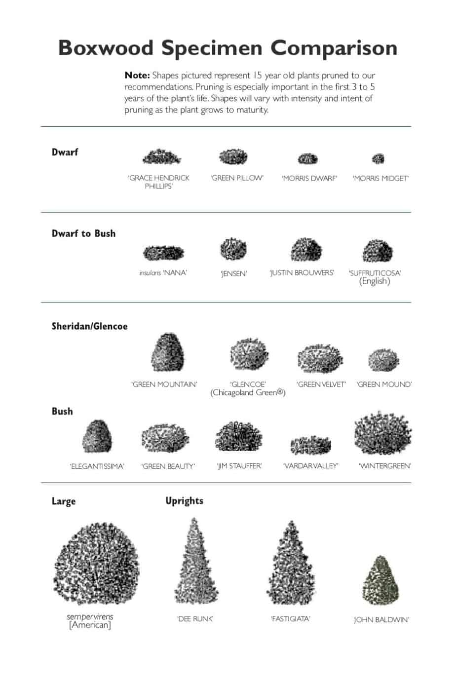 Boxwood specimen comparison drawing.
