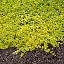 Creeping Jenny (aka Moneywort) is a chartreuse groundcover offering a great contrast color to other plants and flowers.
