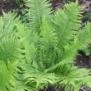 Ostrich ferns have emerald green fronds of foliage.