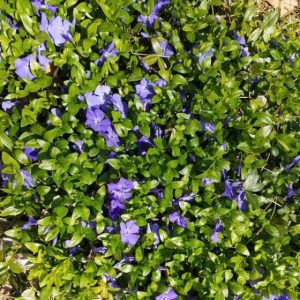 Periwinkle is a beautiful groundcover with bluish purple flowers that create a bed of color in your shade garden.