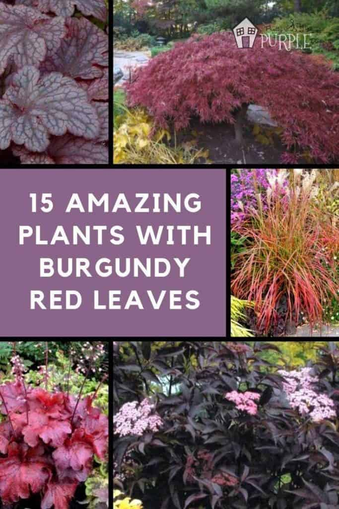 25 Amazing Plants with Burgundy Red Leaves Pinterest