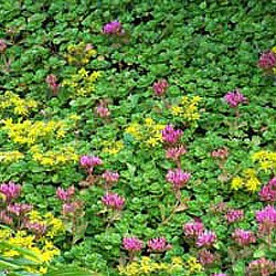 Sedum is easy to grow and one of the most drought-tolerant groundcovers available.