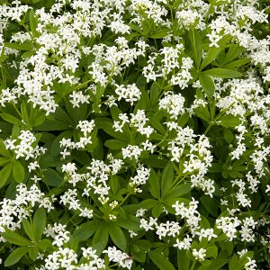 Sweet woodruff has little white flowers that will light up a shady corner of your garden.