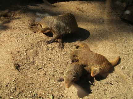A family of mongooses