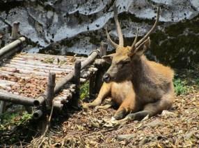 Himalayan deer
