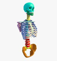 colour thorax and skull skeleton royalty free 3d model preview no 2 [ 900 x 900 Pixel ]