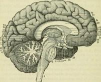 The_brain_as_an_organ_of_mind