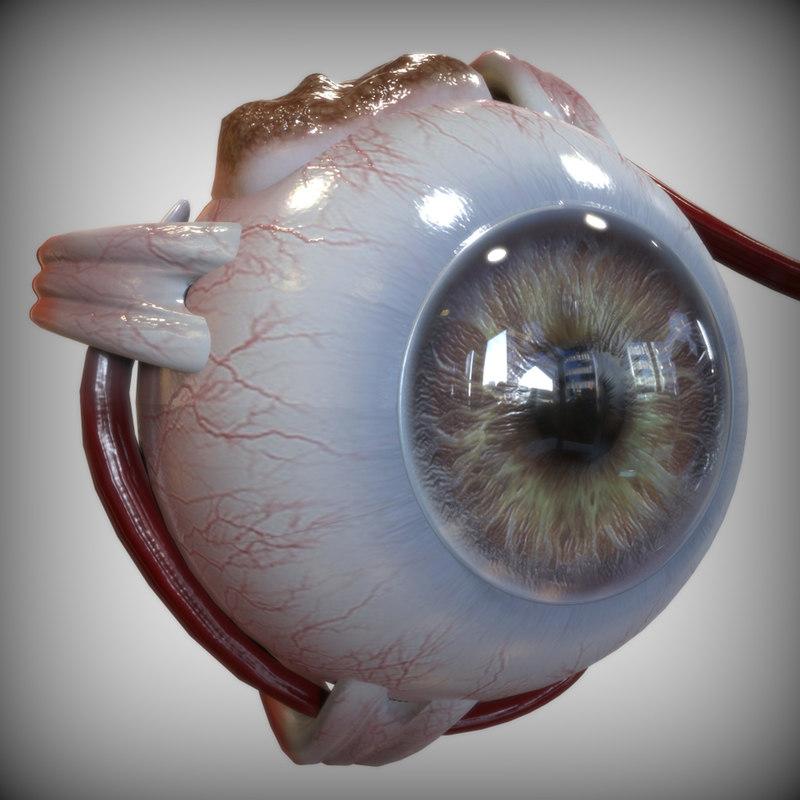 maya eye anatomy