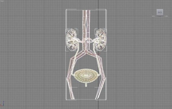 3d model of kidneys