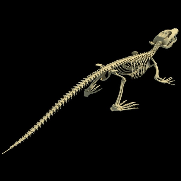 beaver skeleton diagram strat wiring humbucker alligator related keywords & suggestions - long tail