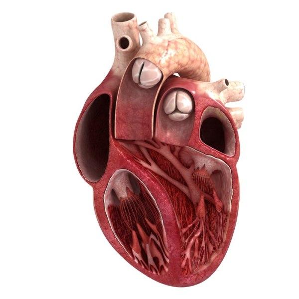 3d Heart Model Project