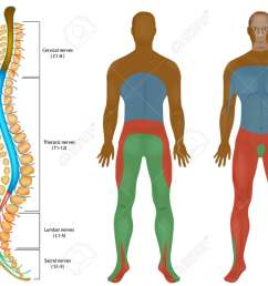 spinal nerves chart spinal cord peripheral nervous system spinal anatomy stock vector [ 1300 x 928 Pixel ]
