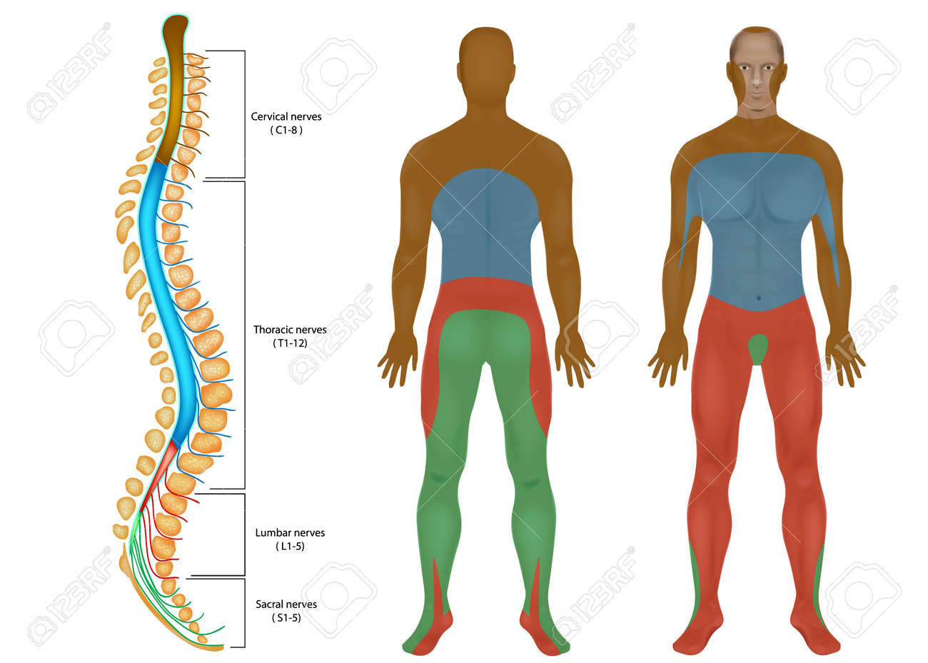 hight resolution of spinal nerves chart spinal cord peripheral nervous system spinal nerves diagram images spinal nerves chart spinal