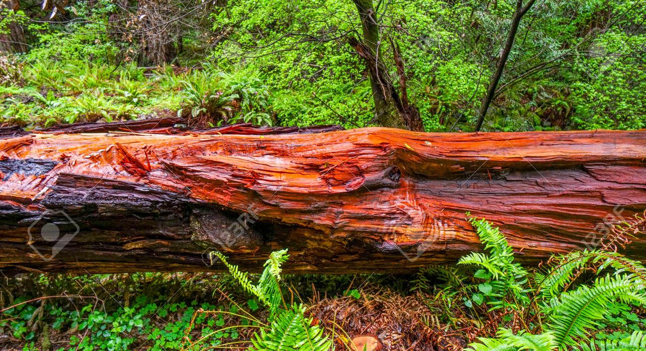 le beau bois rouge du cedre rouge de victoria californie