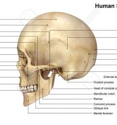skull lateral view stock photo 64329024 [ 1300 x 731 Pixel ]