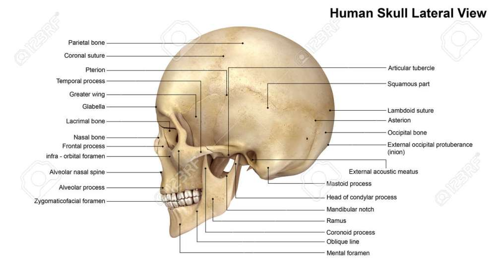 medium resolution of skull lateral view stock photo 64329024