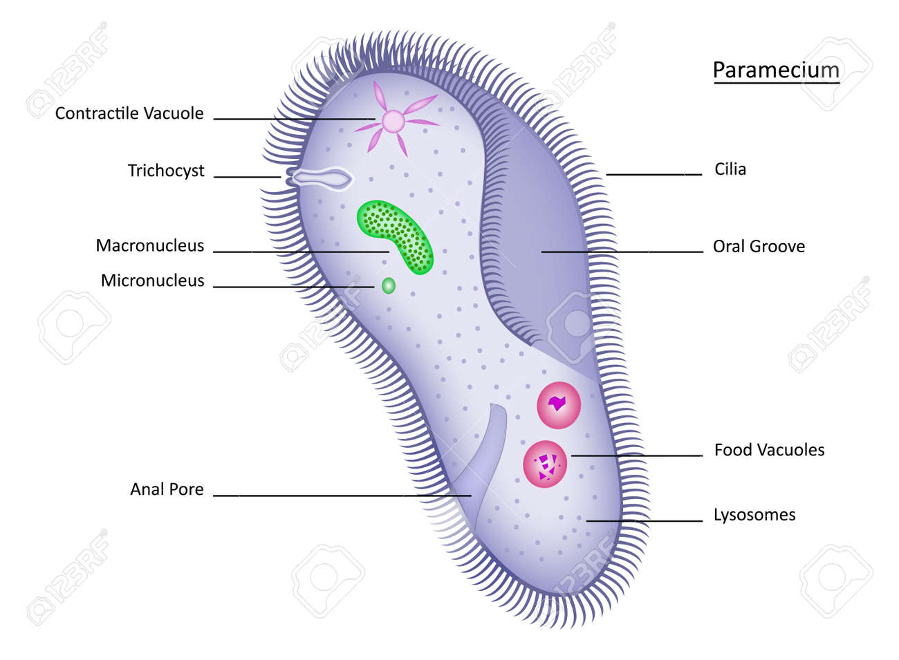 hight resolution of colorful paramecium with clearly labeled structures stock vector 11675394