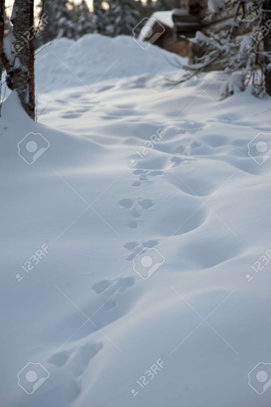 Trace De Lapin Dans La Neige : trace, lapin, neige, Traces, Rabbit, White, Stock, Photo,, Picture, Royalty, Image., Image, 89247722.