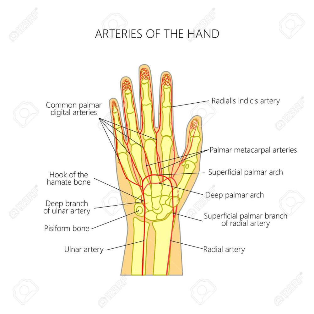 medium resolution of diagram of the arteries to the palmar side of the human hand the scheme