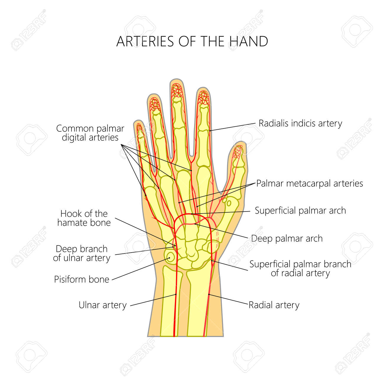 hight resolution of diagram of the arteries to the palmar side of the human hand the scheme