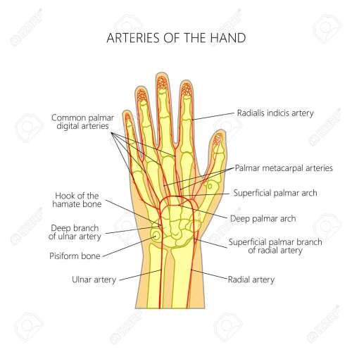 small resolution of diagram of the arteries to the palmar side of the human hand the scheme