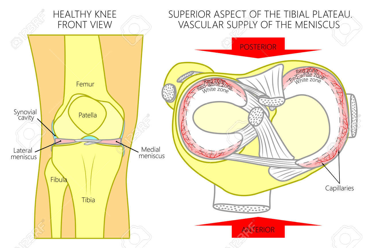 hight resolution of front view of a healthy human knee anatomy of a proximal surface of tibial plateau with soft tissues and blood supply of meniscus