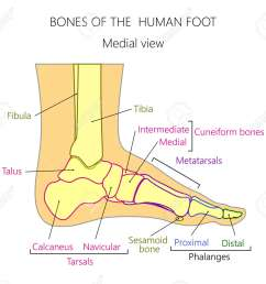 vector vector illustration of a human leg with denominations of the bones of the foot anatomy of medial or side view of the foot  [ 1300 x 1169 Pixel ]