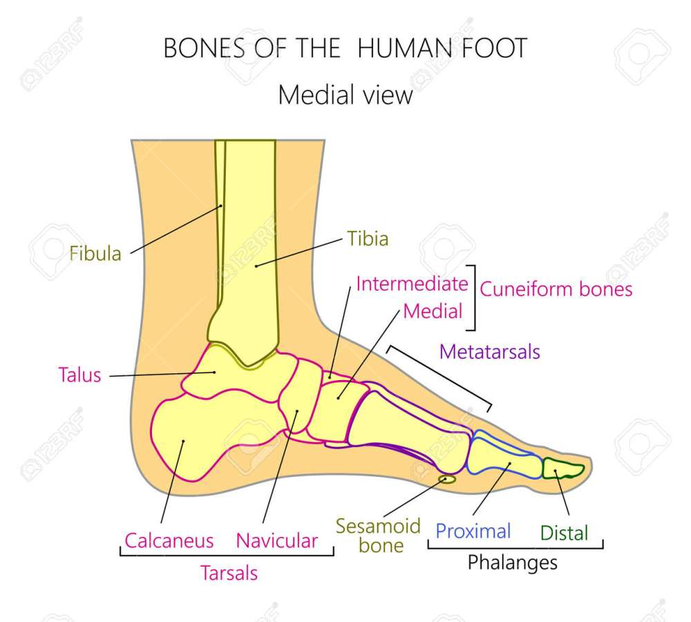 medium resolution of vector vector illustration of a human leg with denominations of the bones of the foot anatomy of medial or side view of the foot