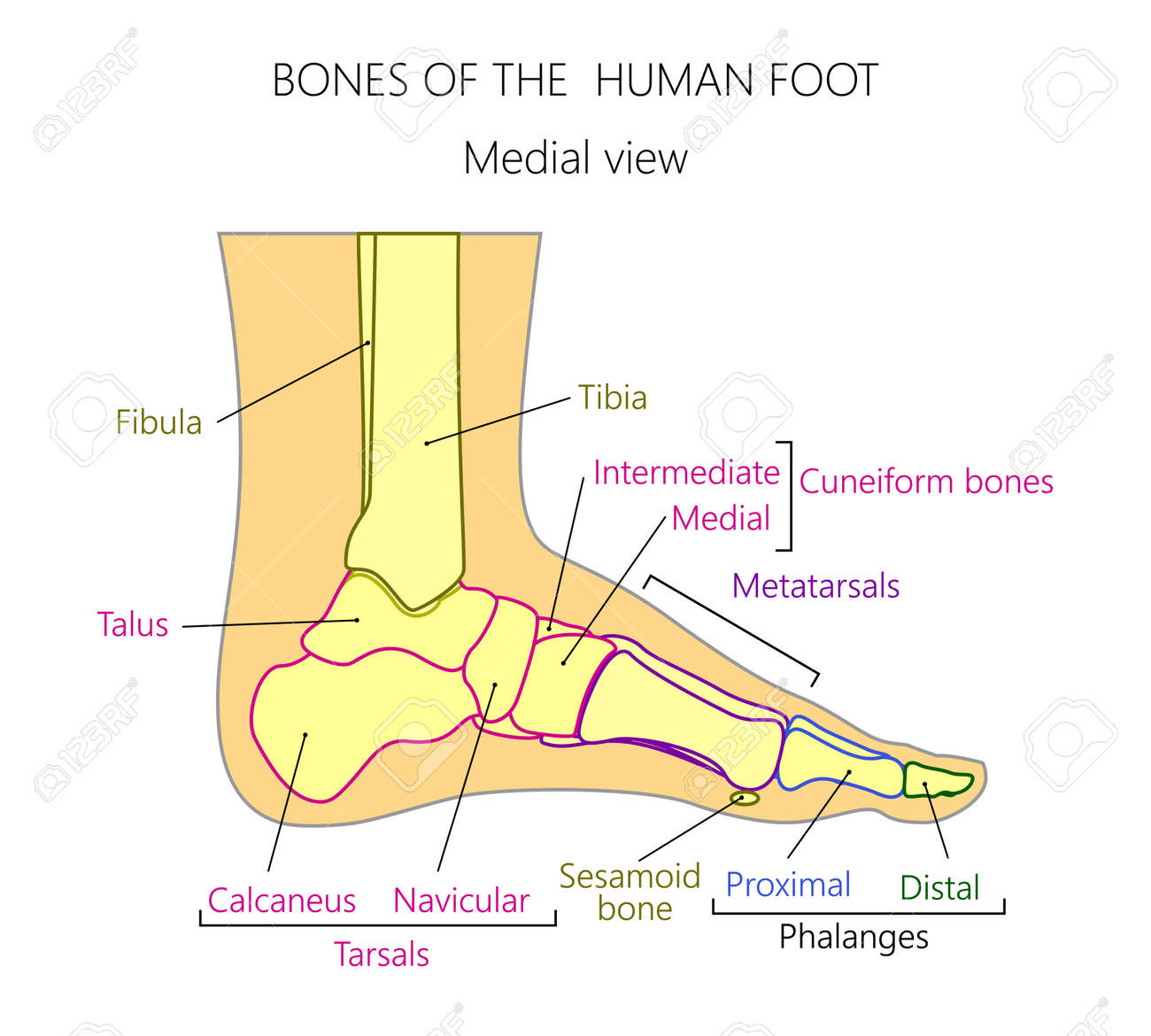 hight resolution of vector vector illustration of a human leg with denominations of the bones of the foot anatomy of medial or side view of the foot