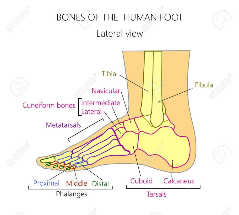 medium resolution of vector vector anatomy of a human leg with denominations of the bones of the foot for medical publication