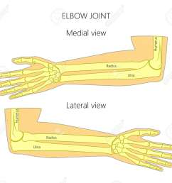 vector vector illustration of a human elbow joint anatomy medial and lateral view of the bones of the arm for advertising medical publications  [ 1300 x 1169 Pixel ]