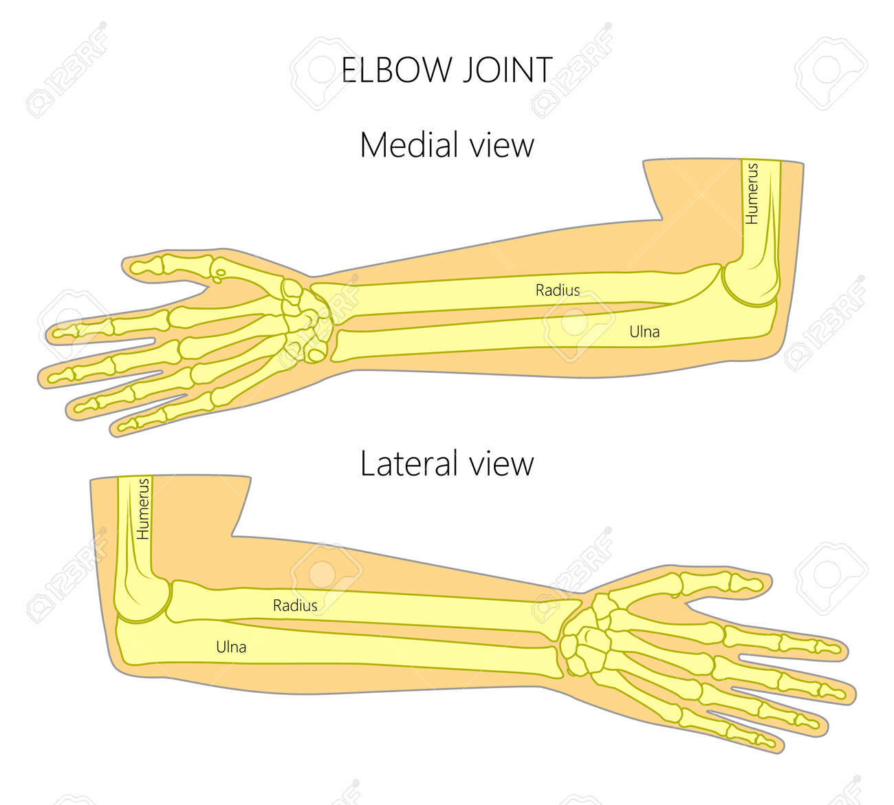 hight resolution of vector vector illustration of a human elbow joint anatomy medial and lateral view of the bones of the arm for advertising medical publications