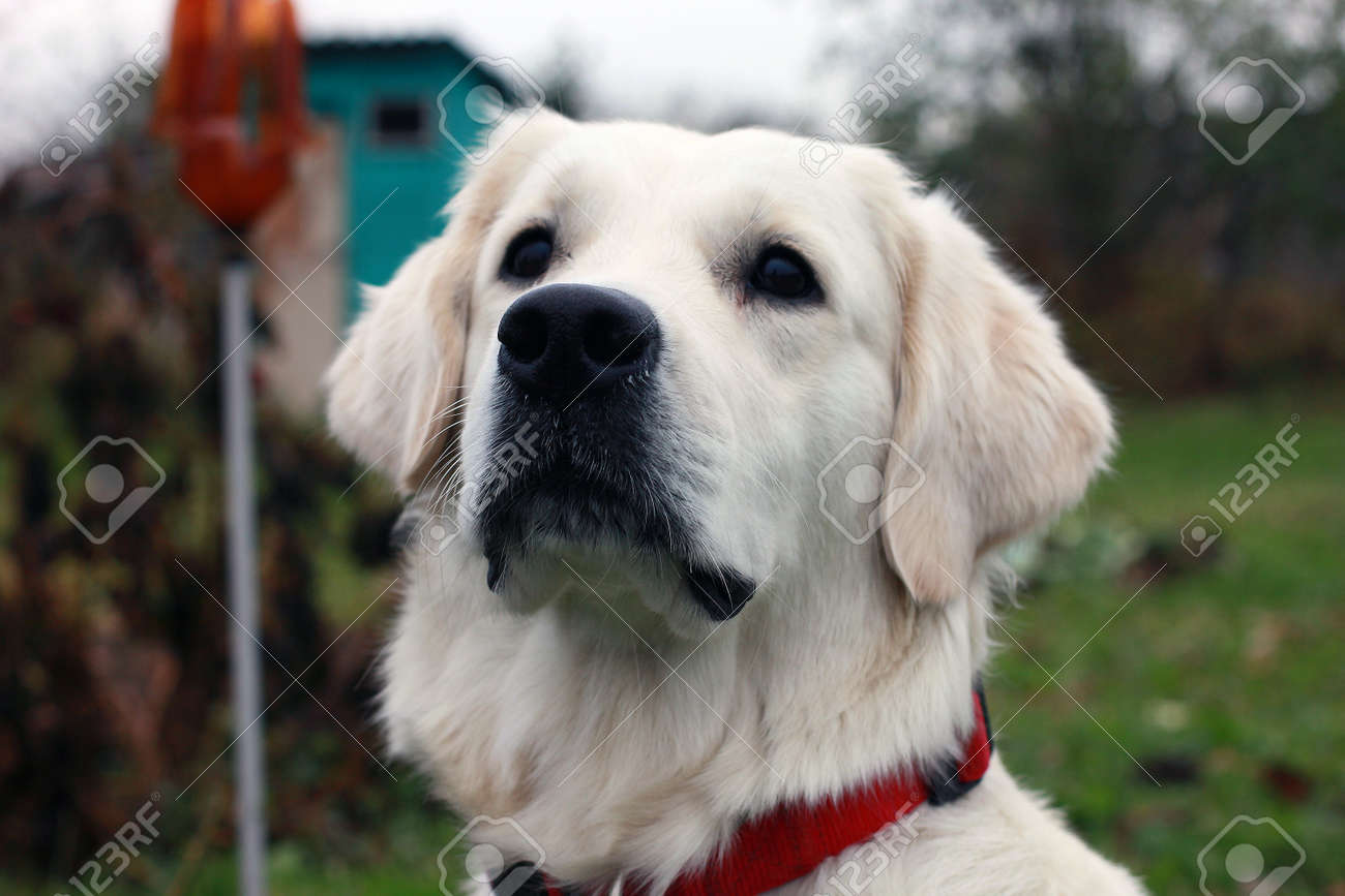 white dog golden retriever