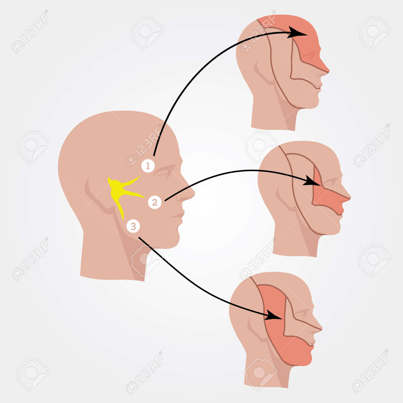 trigeminal nerve diagram car electrical wiring diagrams the human head flat illustration royalty free stock vector 57433529