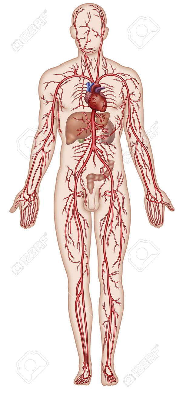 hight resolution of figure schematic illustration which shows the major arteries of the human body stock illustration 18847679