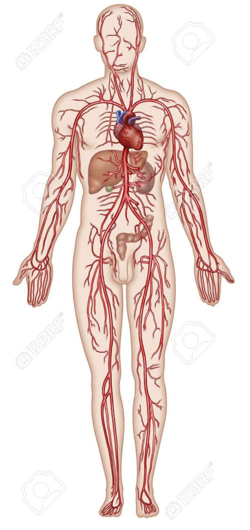 small resolution of figure schematic illustration which shows the major arteries of the human body stock illustration 18847679