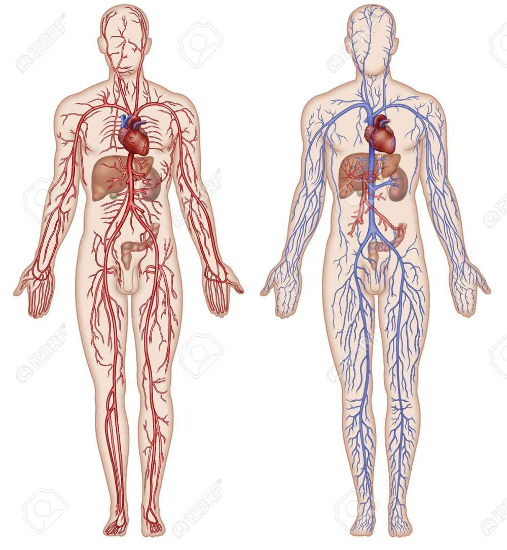 medium resolution of schematic illustration of the figure which shows the major arteries and veins of the human body