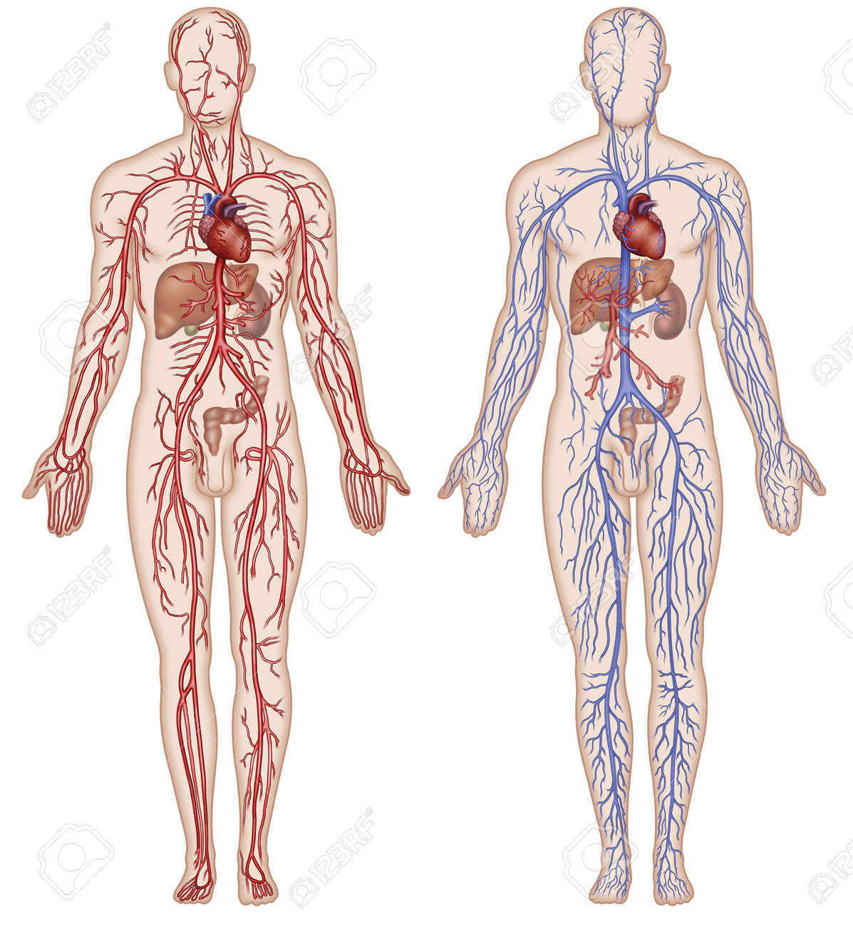 hight resolution of schematic illustration of the figure which shows the major arteries and veins of the human body