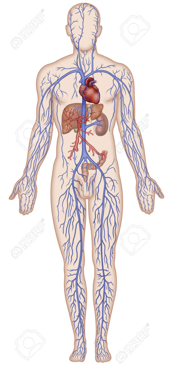 hight resolution of figure schematic illustration which shows the major veins of the human body stock illustration 18847681