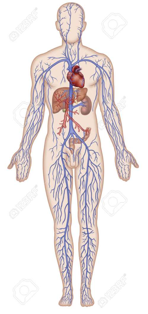 small resolution of figure schematic illustration which shows the major veins of the human body stock illustration 18847681