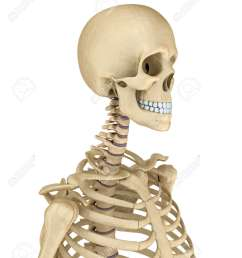 torso of human skeleton isolated medically accurate 3d illustration stock illustration 63479083 [ 1075 x 1300 Pixel ]