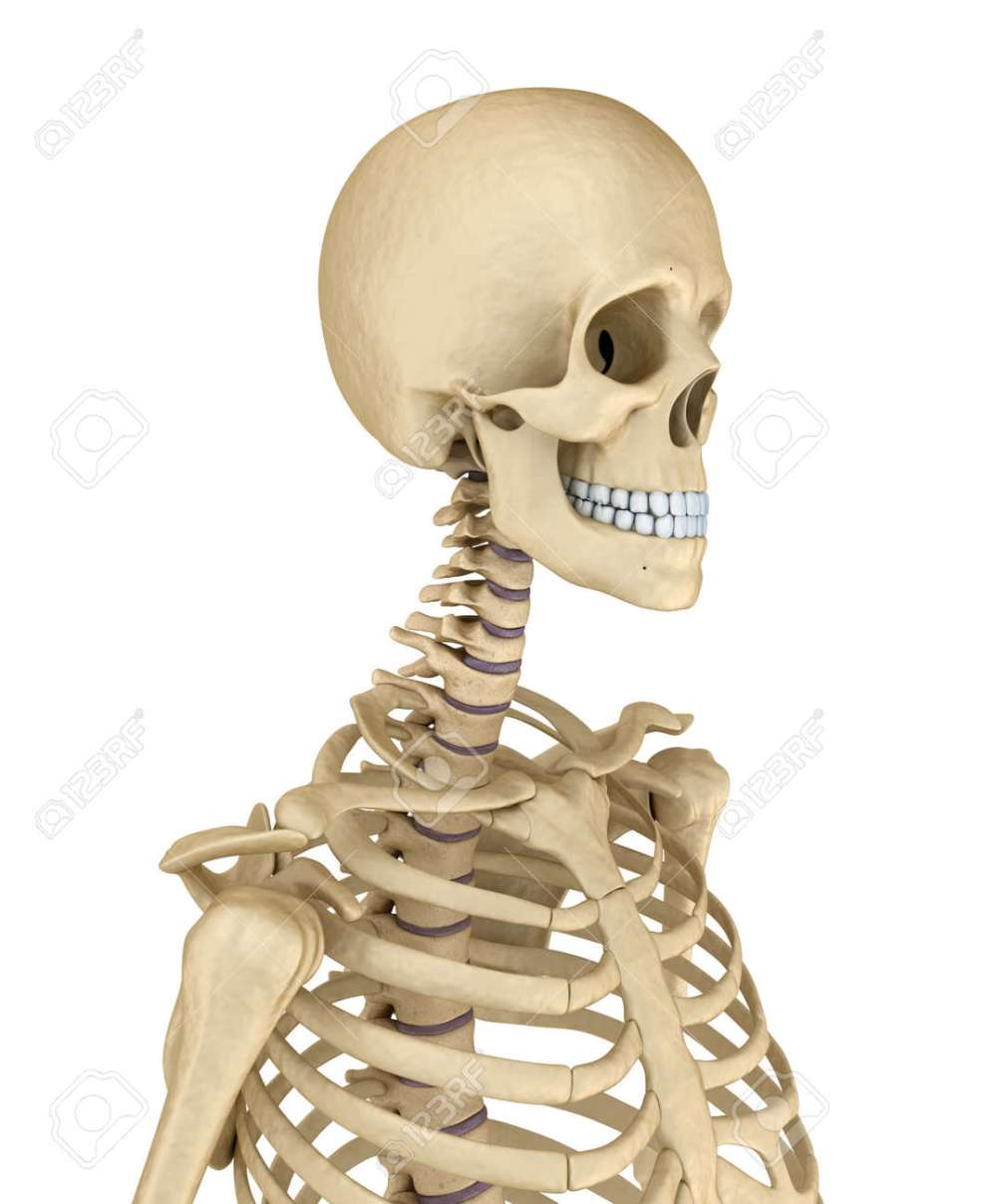 medium resolution of torso of human skeleton isolated medically accurate 3d illustration stock illustration 63479083