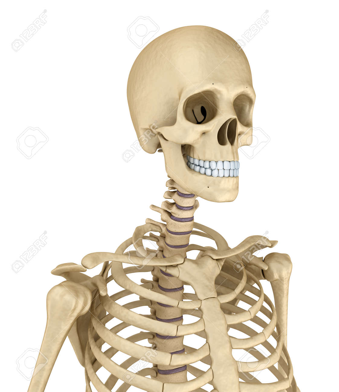 hight resolution of torso of human skeleton isolated medically accurate 3d illustration stock illustration 66965821