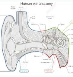 human ear structure medical educational science vector illustration ear anatomy stock vector 55145617 [ 1300 x 975 Pixel ]