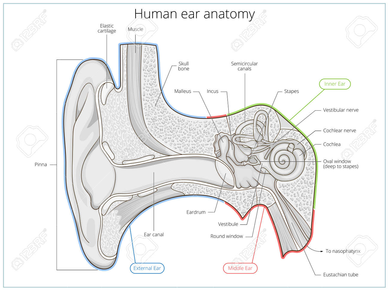 hight resolution of human ear structure medical educational science vector illustration ear anatomy stock vector 55145617